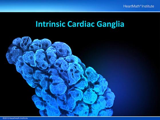Little Brain in the Heart-Neuron-slide-2