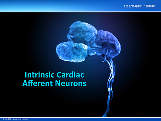Little Brain in the Heart- Neuron-slide-5