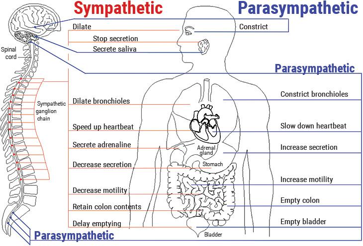 Sympathetic Parasympathetic