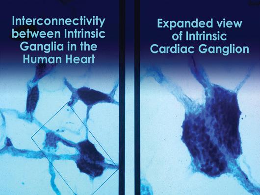 Gânglios cardíacos intrínsecos interconectados