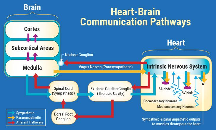 Caminhos de Comunicação Cérebro-Coração