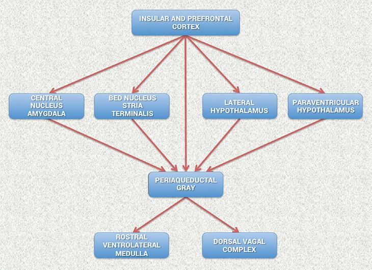 Insular and Prefrontal Cortex